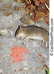 Dead rat lying by poison.