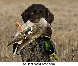 Dog and a Mallard Duck - A hunting dog with a Mallard duck
