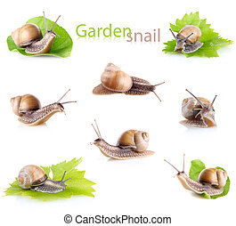 set garden snail Helix aspersa isolated on white background...