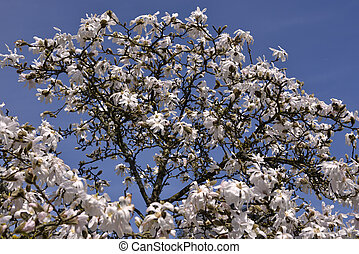 White flowers of star magnolia