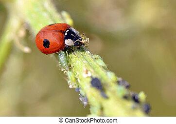 Ladybug eating aphids - Macro of ladybug Adalia bipunctata...