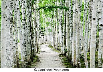Birch forest trails