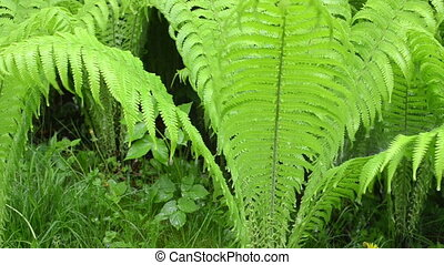 fern plant rain fall - closeup of fern plant branches in...