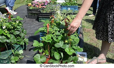 hand strawberry pot - Hand take strawberry seedling pots for...