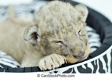 Baby lion - A cute little lion cubs on the black and white...