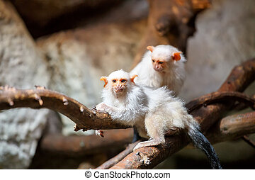 silvery Marmoset on branch - family of small white silvery...