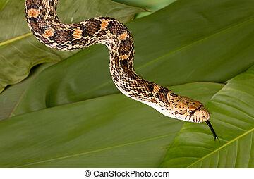 langue, serpent