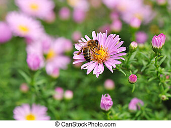 wasp on a flower - wasp foraging an aster flower in a garden