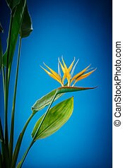 Strelitzia flower - beautiful tropical Strelitzia flower on...