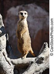 Meercat - Lowry park zoo