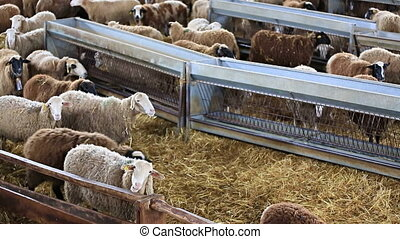 Flock of sheep inside Livestock Buildings