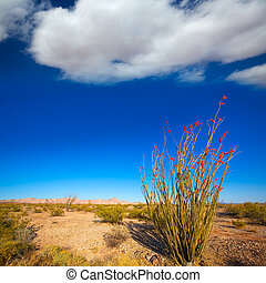 Ocotillo Fouquieria splendens red flowers in Mohave desert...