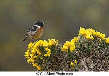 Stonechat, Saxicola torquata, single male on perch, Scotland