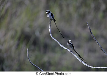 Streamer-tailed tyrant, Gubernetes yetapa, two birds on...