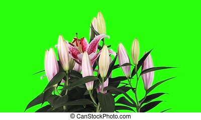 Blooming pink lily flower buds green screen, FULL HD Lilium...