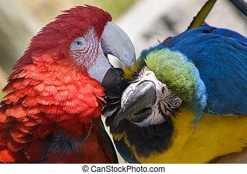 preparación, verde, ala, papagallo, azul, oro,...