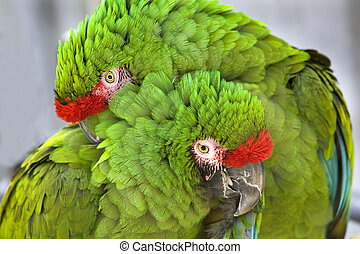 Cuddling Green Military Macaws - Grooming Green Wing Macaw...