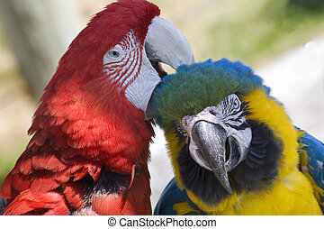 Grooming Green Wing Macaw Blue Gold Macaw - Grooming Green...