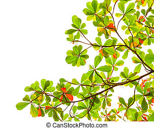 green and red sea almond leaves with tree branch isolated on...