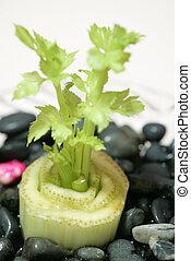 Celery - Growing celery.