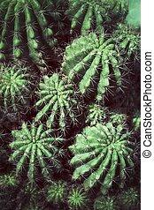 Cactus - Green cactus in the garden