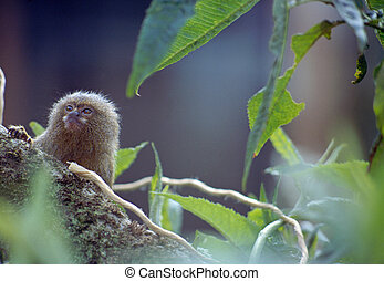 Marmoset on a branch - Head and legs of a marmoset throught...