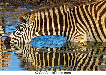 Zebra Drink Water Reflections - Morning colours with zebra...