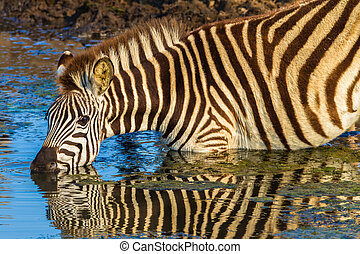 Zebra Alert Drink Water Reflections - Morning colours with...