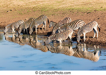 Zebra Herd Water Reflections - Morning colours with zebra...