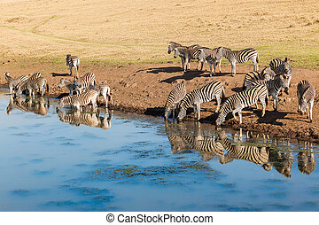 Wildlife Zebras Water Reflections - Morning colours with...