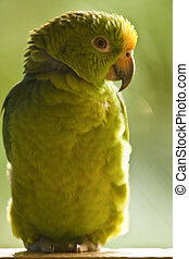 Green parrot - Green and yellow parrot, tropical bird of...