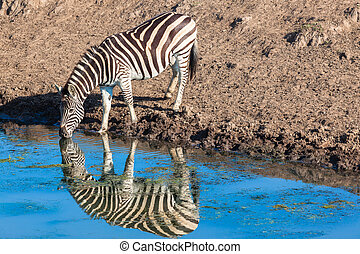 Zebra Alone Water Reflections - Morning colours with zebra...