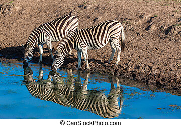 Zebras Wildlife Animals Colors - Morning colours with two...