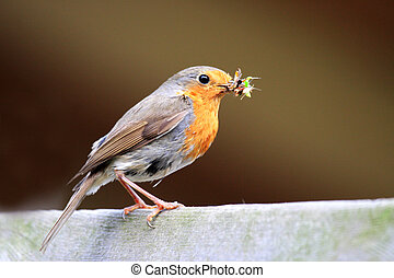Redbreast with food for the children