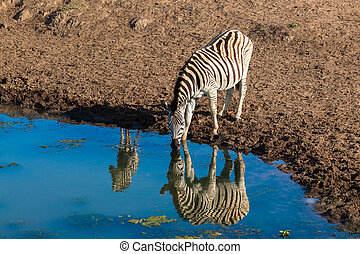 Zebra Calf Water Mirror Relfections - Morning colours with...