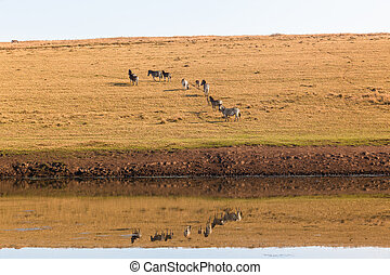 Zebras Water Reflections - Water hole reflections of zebra...