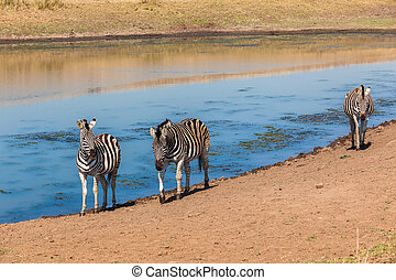 Three Zebras Water - Three zebras walking along the edge of...