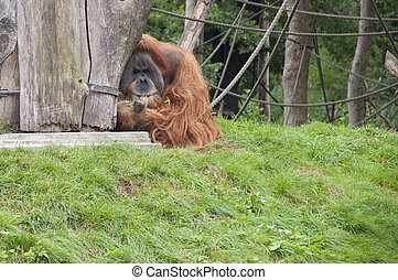 Orangutans - Expressive Orangutans at a Zoo
