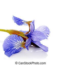 Blue iris.