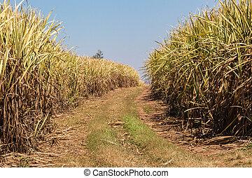 Sugar Cane Fire Break - Fire break between the sugar cane...
