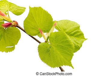 Lime leaves of the tree. - Lime leaves of the tree isolated...