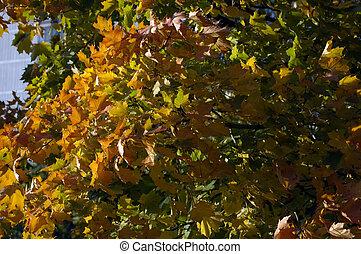 albero, colorito