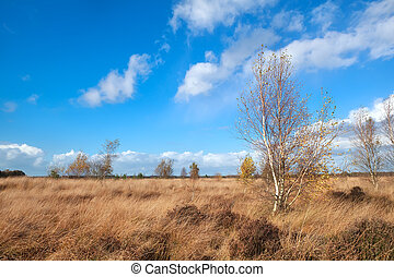 autumn weather over marshes with birch trees,...