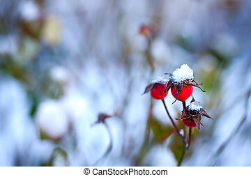 Red Rose-hips - red rosehip berries in snow winter...