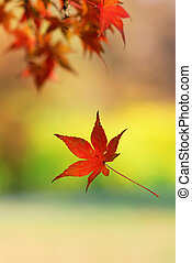 Single japanese maple leaf falling from a tree branch