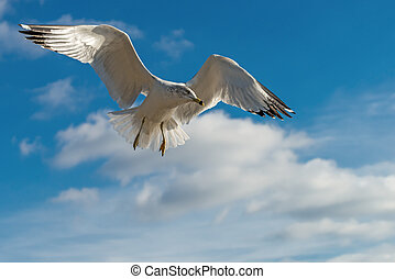 Sea gull flying in the blue sunny sky over the coast of...