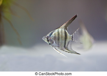 Angelfish swimming in aquarium tank