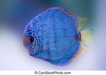 Spotted blue discus