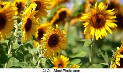 Sunflowers - HD1080: Close-up view on a field of sunflowers....
