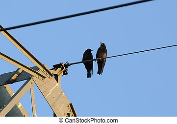Together 006 - Two crows at a high voltage line.